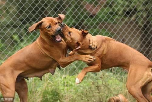 世界上最凶悍的5大狗狗,敢养的都是牛人,你有胆量吗?_WWW.XUNWANGBA.COM