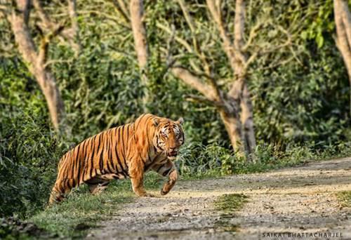 卡齐兰加国家公园的超级巨虎KZT085_WWW.XUNWANGBA.COM