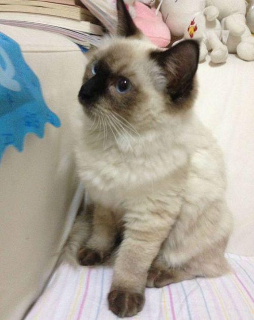 (不是正经科普)重点色布偶与暹罗猫的区别_WWW.XUNWANGBA.COM