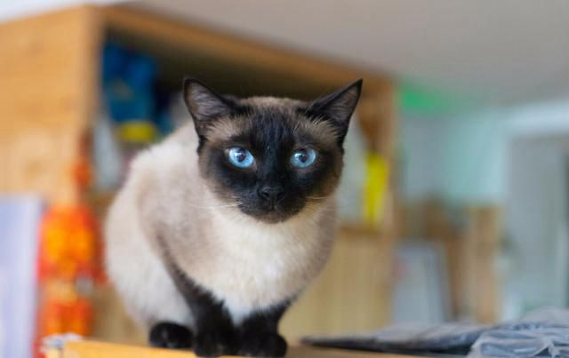 省心猫咪排名,最懂事的3种猫和最调皮的3种猫,你养对了吗?_WWW.XUNWANGBA.COM