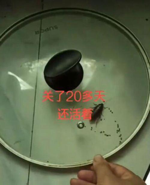 蟑螂被盖在锅盖下20天 蟑螂的生命力到底有多强_WWW.XUNWANGBA.COM
