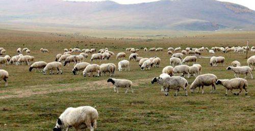接首批1.2万只捐赠羊车队从武汉出发 蒙古国为什么要捐赠羊_WWW.XUNWANGBA.COM