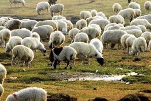 1只羊加工后正运往武汉 蒙古国送中国30000只羊去哪里了_WWW.XUNWANGBA.COM