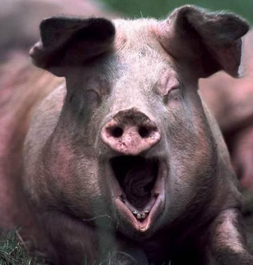 巴西发现猪流感新变种已有人感染 猪流感最新消息_WWW.XUNWANGBA.COM