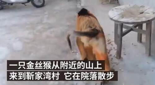 金丝猴进村蹭吃蹭喝 金丝猴为什么那么温顺_WWW.XUNWANGBA.COM