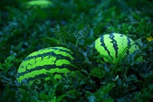 夏天吃西瓜不能和什么一起吃 夏天吃西瓜不能和哪些食物一起吃_WWW.XUNWANGBA.COM